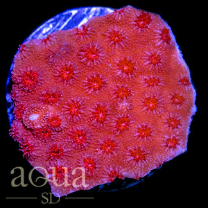 Red Man Cyphastrea