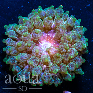 Sparkling Acid Wash Bubble Tip Anemone