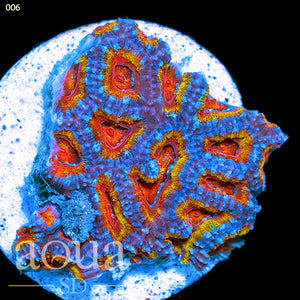 Special Acan Colony (2'' Disk Behind)