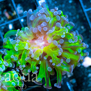 Tank Grown Indo Branching Nuclear Frogspawn