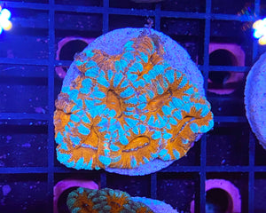 Ultra Acan Colony (2'' Disk Behind)