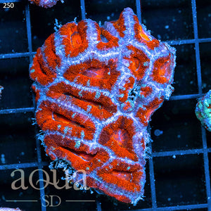 Ultra Acan Colony (Egg Crate Behind is 3 Squares = 2'')