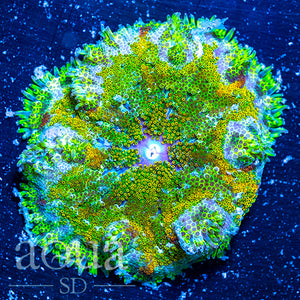 Ultra Maxi Mini Carpet Anemone