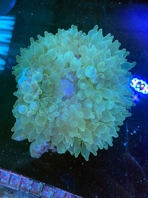 XL Green Bubble Tip Anemone
