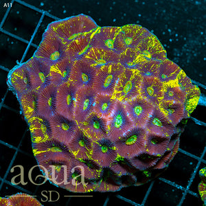 a11 Aussie Blinding Goniastrea Colony (Egg Crate Behind is 3 Squares = 2'')