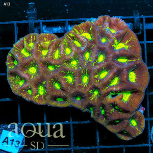a13 Aussie Blinding Goniastrea Colony (Egg Crate Behind is 3 Squares = 2'')