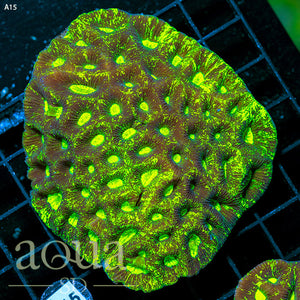 a15 Aussie Blinding Goniastrea Colony (Egg Crate Behind is 3 Squares = 2'')