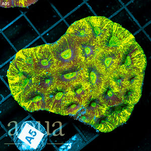 a5 Aussie Blinding Goniastrea Colony (Egg Crate Behind is 3 Squares = 2'')