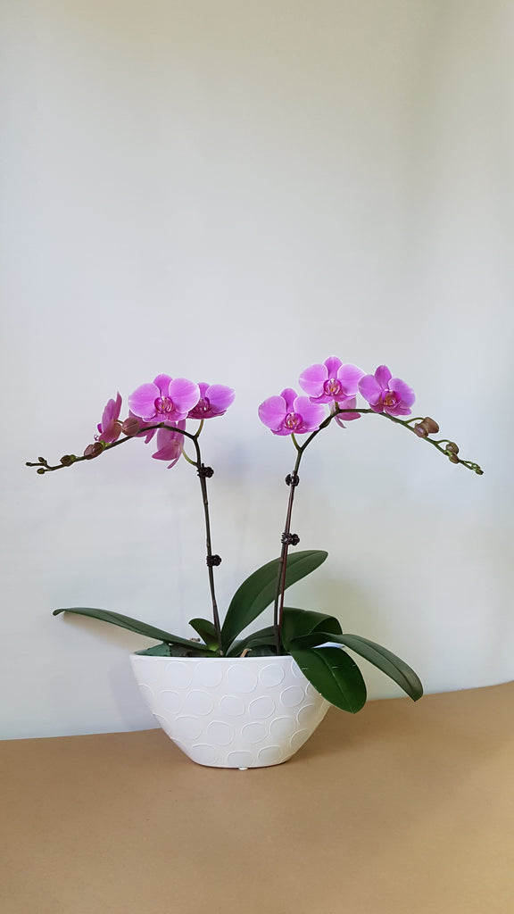 Pink mini Orchids pot