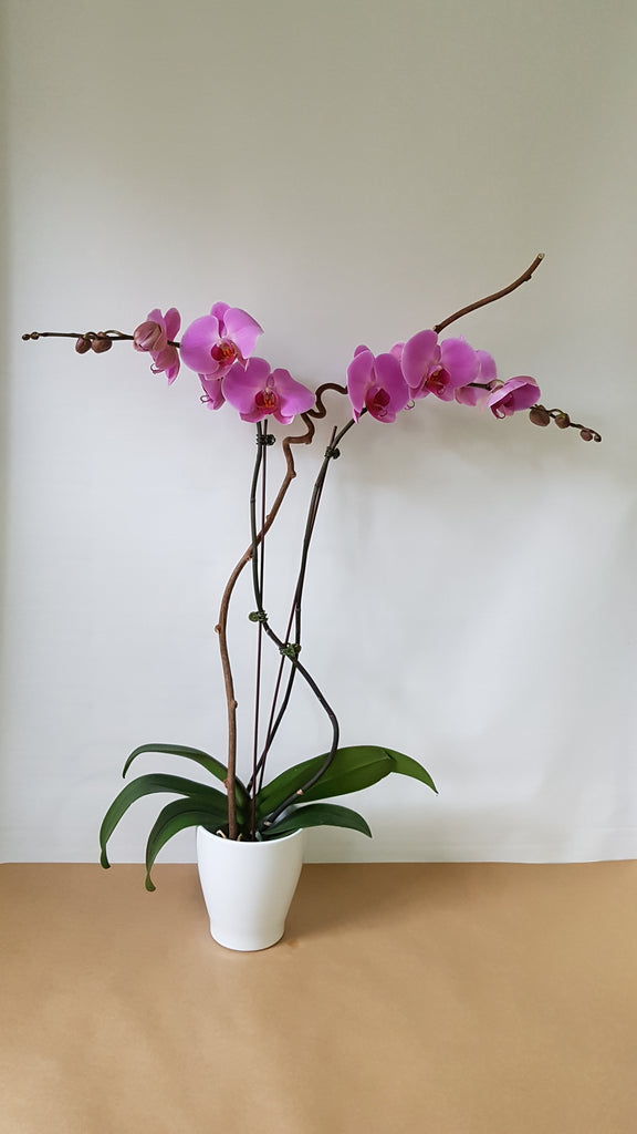 Double pink orchids