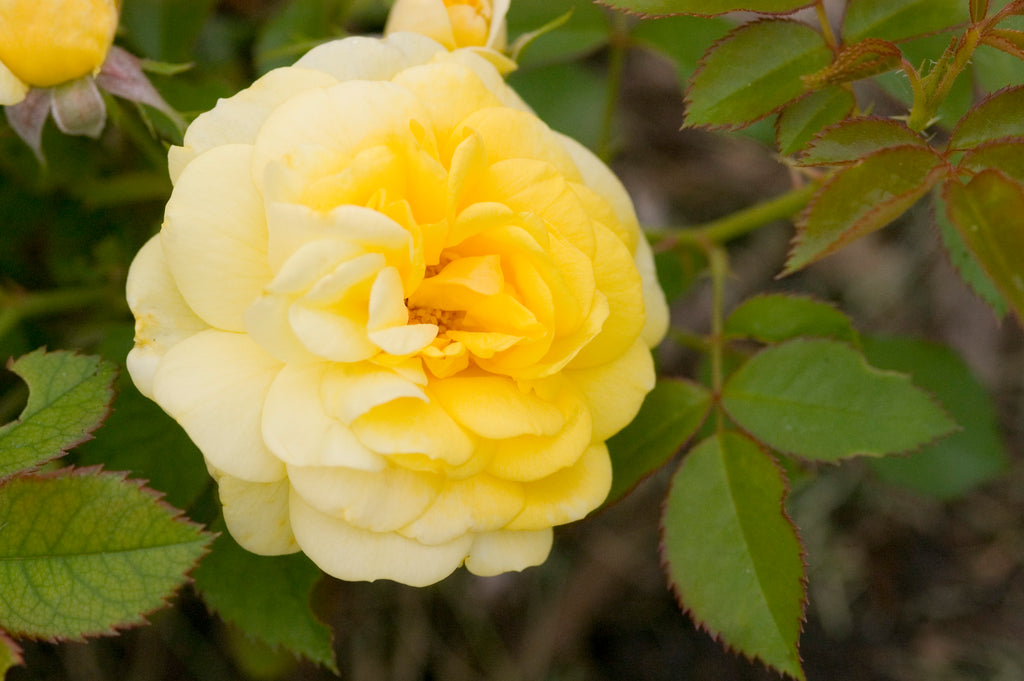 Rose of the Week 50% Off Sale