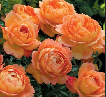 Lady of Shalott (AUSnyson) Climbing Rose