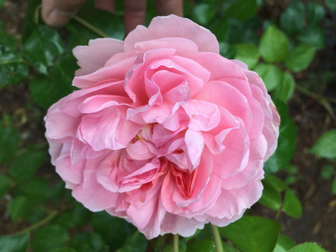 Strawberry Hill (AUSrimini) Climbing Rose