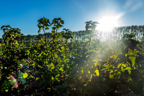 Mother Nature's marvels: The secret to NZ blackcurrant's superiority - and the reason may suprrise you