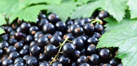 Blackcurrants may have similar endurance benefits to beetroot - Human Kinetics