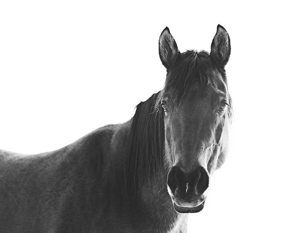 Black Horse | White Background