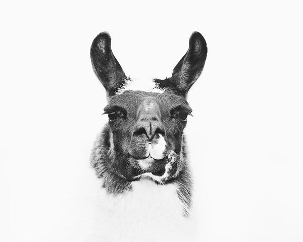 Modern Llama Photograph in Black and White