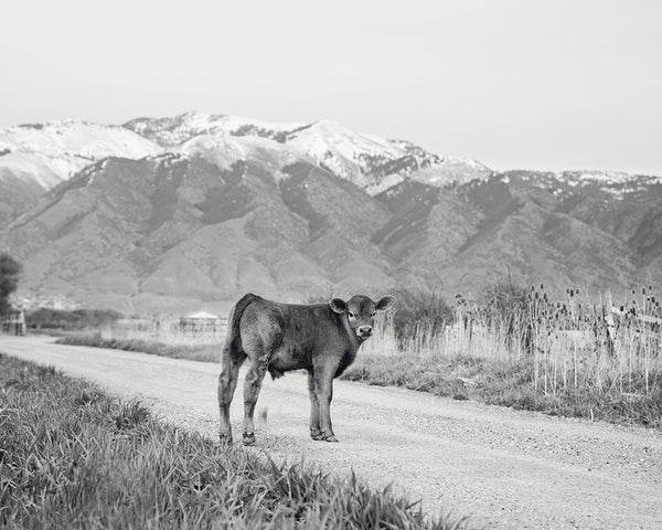 Country Calf Photograph in Black and White