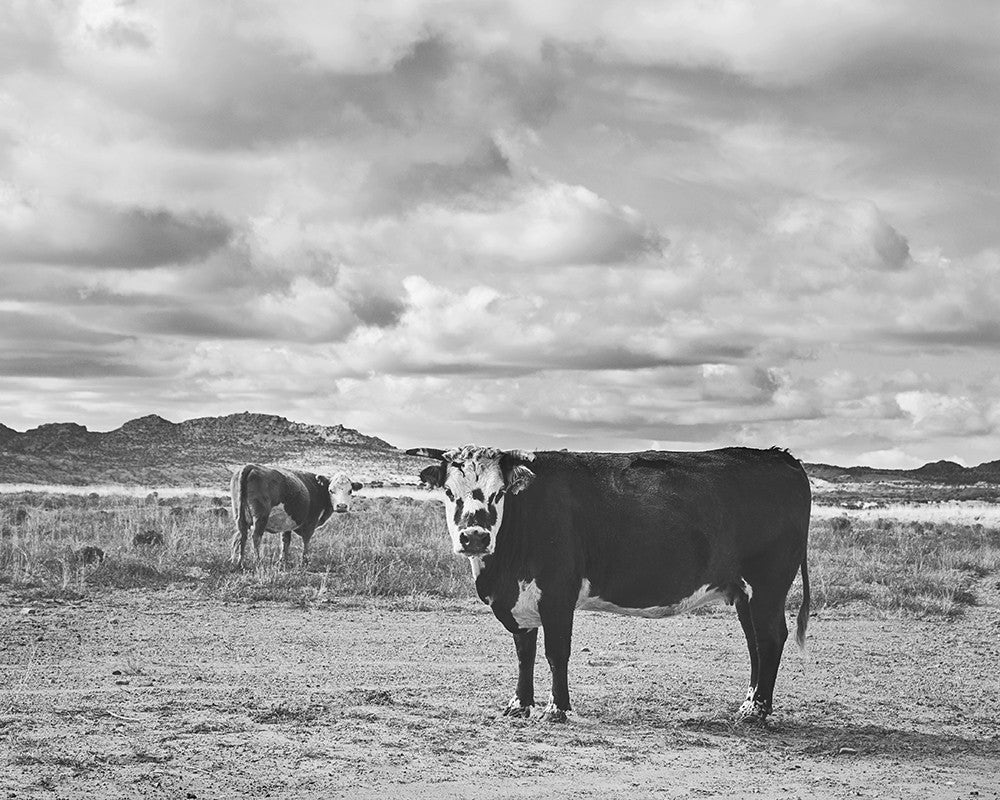 Desert cattle photograph in black and white