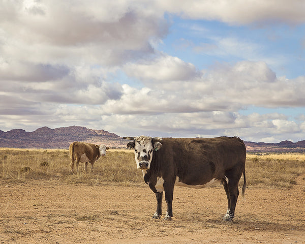 Desert Landscape Photograph of Cattle