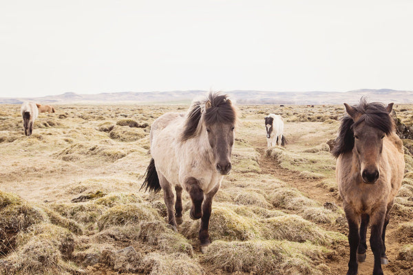 Color Horse Photograph | Icelandic Horses in Landscape Print | Equine Photography | Physical Print