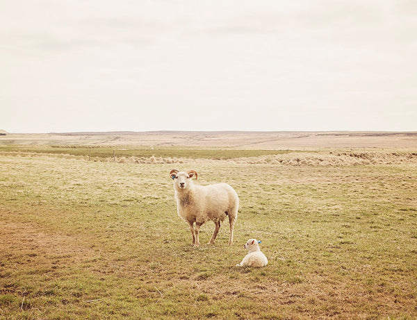 Mother and Baby Sheep Photograph | Farm Photography | Iceland Art | Physical Print