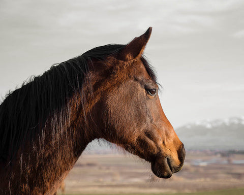 Brown Horse Profile Photograph | Horse Photography in Color | Multiple Sizes