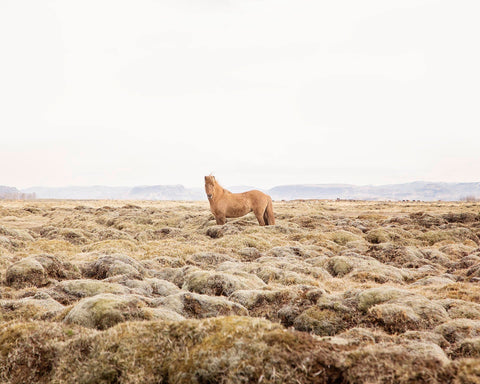 Single Icelandic Horse in Color | Horse Photography | Equine Wall Print | Physical Print