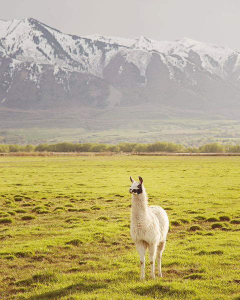 Color llama Photograph, Vertical animal art, mountain landscape photography, PHYSICAL PRINT