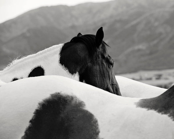 Paint Horse Photograph in black and white, Western Horse Photography, Physical Print
