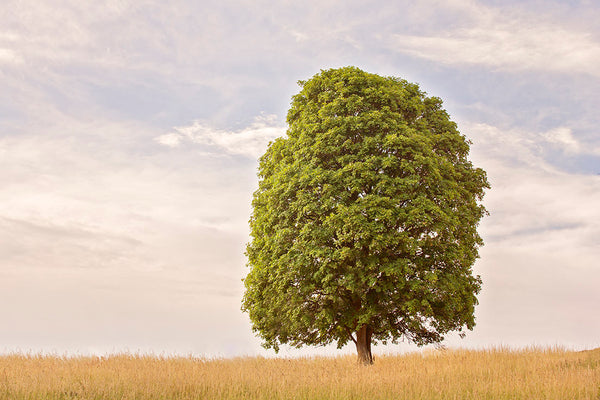 Solitary Green Tree Photograph | Landscape Physical Print