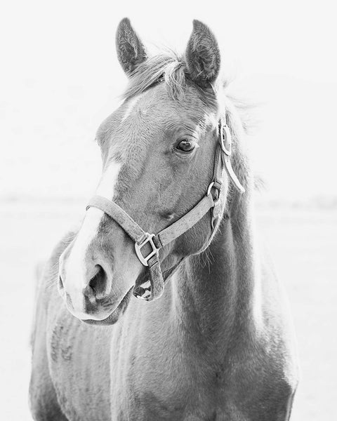 Light Black and White Horse Picture, Animal Photograph, Physical Print