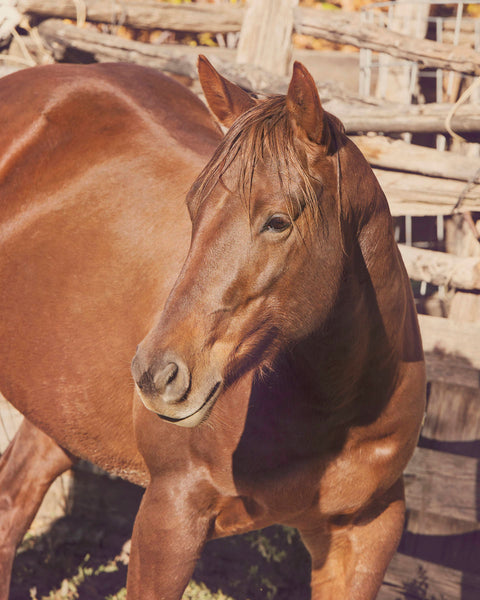 Chestnut Horse Photograph, Sorrel Horse Art, Physical Horse Print