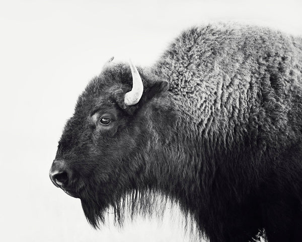 Buffalo Print, Bison Photograph in Black and White