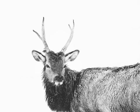 Elk Photograph in Winter, Animal with White Background, Black and White Print