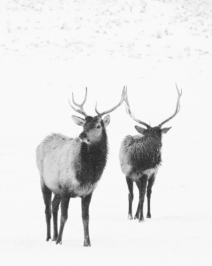 Bull Elk Print in Black and White, Physical Photograph, Elk in Winter