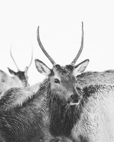 Spike Elk Photograph in Winter, Black and White Animal Print, Physical Photograph