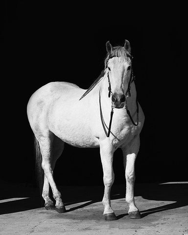 White Horse with Black Background, Physical Print, Horse Print, Real Photograph