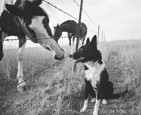 Farm Dog and Horse Photo Print, Physical Print, Border Collie Art