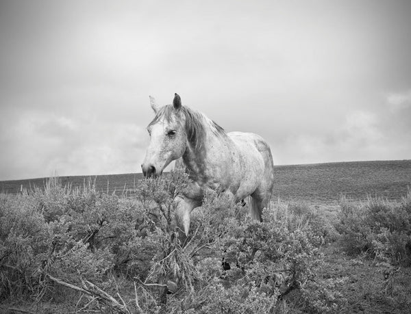 Black and White Horse Landscape Photograph, Western Horse in Nature Art, Physical Horse Print