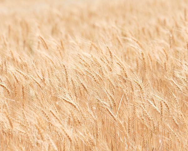 Minimalist Nature Photography, Wheat Fields Art Print, Physical Print
