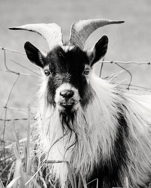 Billy Goat Photograph