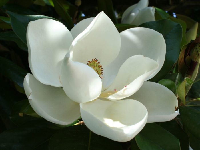 Why magnolia leaf is special