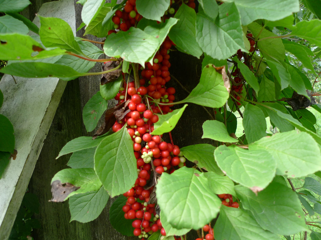 Why Schizandra Berry Is Special