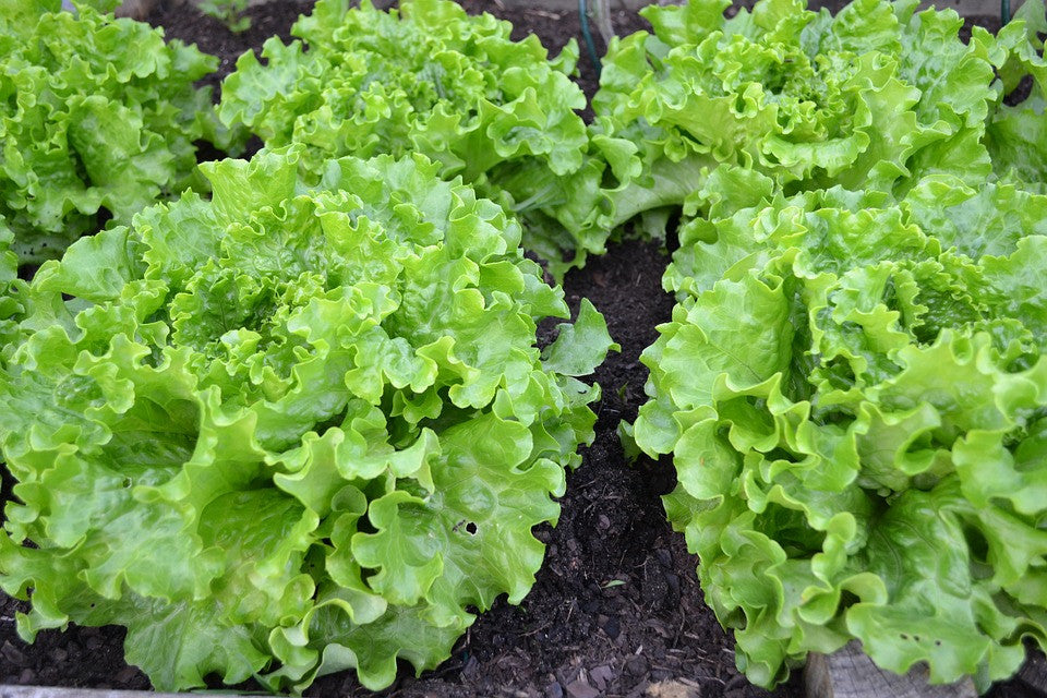 Growing Lettuce Hydroponically