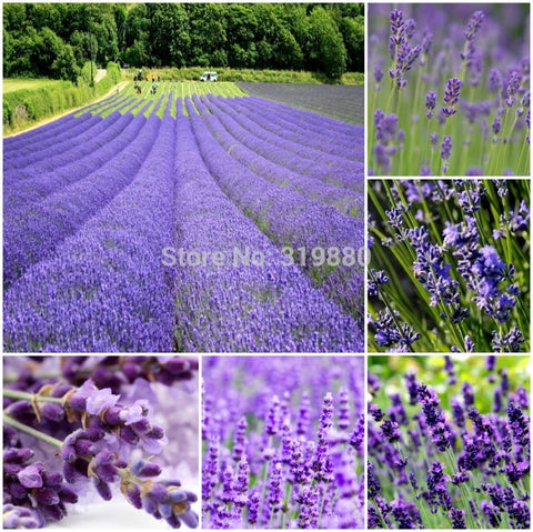 500pcs Lavender seeds herb seed garden balcony pot  Four Seasons flower seeds