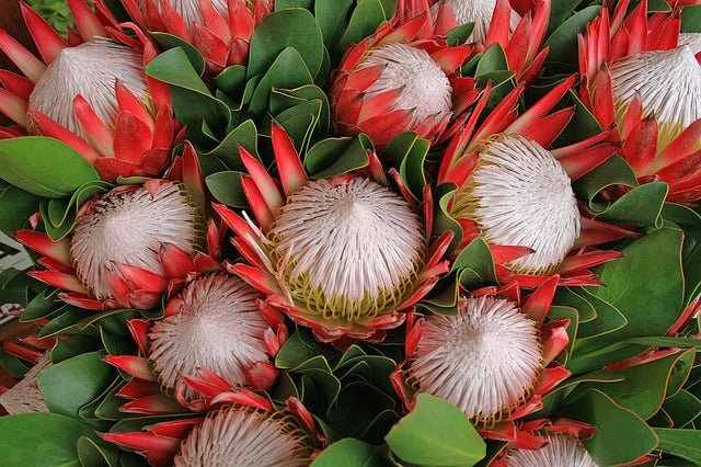 Unlocking the mysteries of Protea