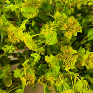 Bupleurum - Greens - Going Bloom - boise_wholesale_flowers - Boise_Flower_Market