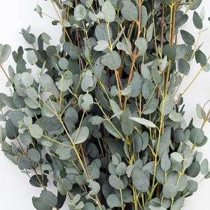 Eucalyptus Gunni - Eucalyptus - Going Bloom - boise_wholesale_flowers - Boise_Flower_Market