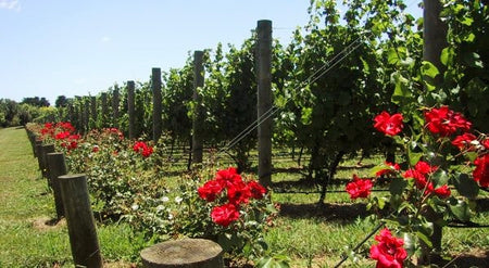 Why Vineyards Grow Roses